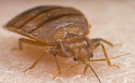 Bed Bugs News