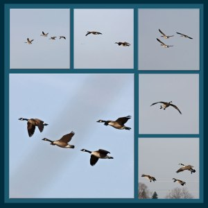 window geese